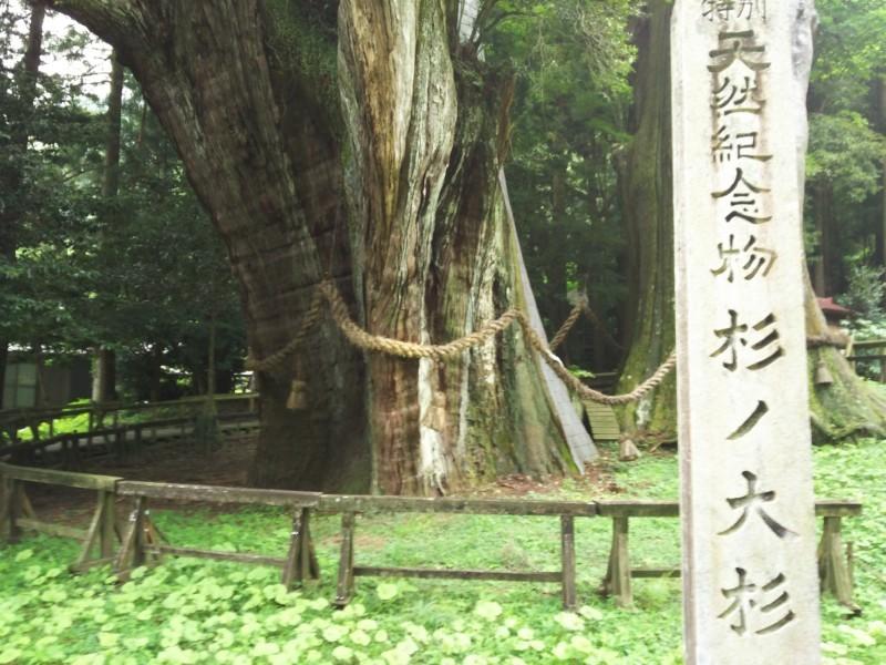 杉の大杉 in 大豊町