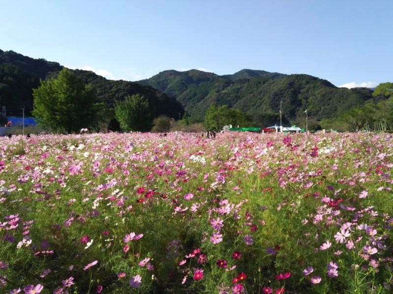 コスモス祭り in 越知町